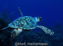 Heading Deep - Image taken in Cayman with a Nikonos V, 15... by Mark Westermeier