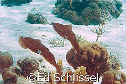 2 squid swimming over reef, taken in Curacao, NA by Ed Schlissel