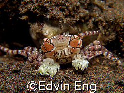 The Pom-pom Crab! Taken in Tulamben with Canon G7. by Edvin Eng