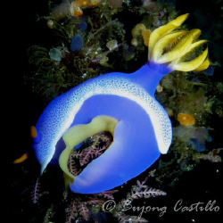Nudi with eggs - Taken at Kirby's Rock dive site in Anila... by Arthur Castillo