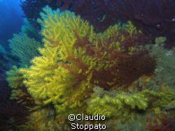 gorgonie secca di punta secca isole tremiti by Claudio  Stoppato