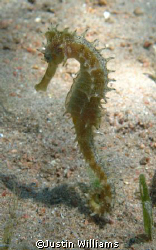 nice little sea horse by Justin Williams