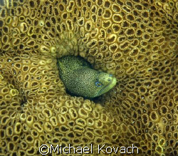 Goldentail Eel in coral taken off the beach at Fort Laude... by Michael Kovach