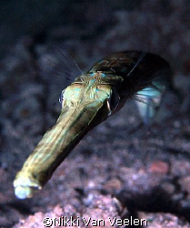 Trumpetfish taken at Sharksbay on a night dive with E300 ... by Nikki Van Veelen