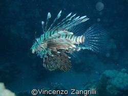 Lion Fish in Marsa Nakari, South Reef. by Vincenzo Zangrilli