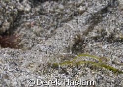 Brown shrimp. Connemara. D200, 60mm. by Derek Haslam