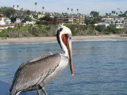 San Clemente Pelican. Olympus C-4000. by Kevin Robert Panizza