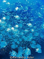 Bat fish at Taurus ´s wreck. Scuba dive at Recife´s sea c... by Alexandro Auler