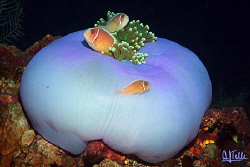 Home, sweet home. Anemone fish family captured off Tulamb... by Arthur Telle Thiemann