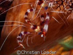 Banded Boxer Shrimp - photo taken in June 2007 in Komodo ... by Christian Loader