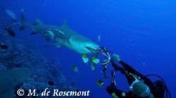 "Lemon shark feeding at Tapu (Borabora) with ""Blanchette"" ... by Moeava De Rosemont"