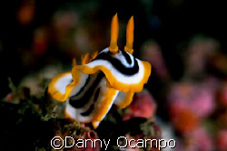a rearing nudi in Anilao, Batangas, Philippines by Danny Ocampo