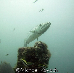 Baracuda peering over what is left of the rail on the Ken... by Michael Kovach
