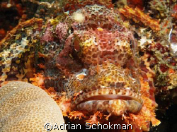 Grumpy in all It's Glory... Anilao Philippines - Olympus ... by Adrian Schokman