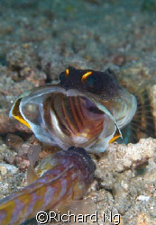 Gold Speck Jawfish engaged in a ferocious battle to prote... by Richard Ng