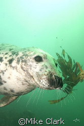 Friendly Seal playing with kelp Nikon D 70 with 20mm len... by Mike Clark