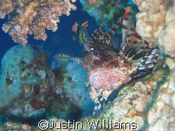 Scorpian fish at the blue hole in Dahab. Taken with a Can... by Justin Williams