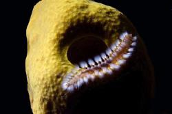 Bearded fireworm on yellow sponge.  by Carlo Greco