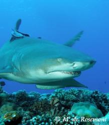 Lemon shark - sea&sea housing, Nikon D50 and 12-24mm lens... by Moeava De Rosemont