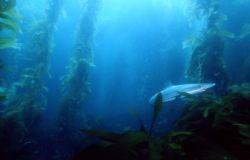 Soupfin shark, San Clemente Isl, housed F100, braced agai... by Noah Schultz