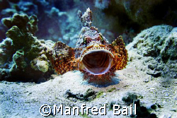 scorpionfish, nikon D200, sealux housing by Manfred Bail