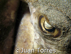 Southern Stingray by Juan Torres