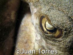 Southern Stingray by Juan Torres