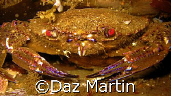A velvet Crab shot at St Abbs Marine Reserve, Scotland Au... by Daz Martin