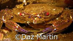 A velvet Crab shot at St Abbs Marine Reserve, Scotland Au... by Daz Martin
