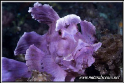 One of the two resident of Lembeh 350D/70mm by Yves Antoniazzo