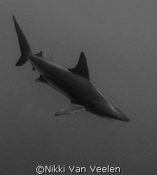 C. Limbatus taken at Shark reef, Ras Mohamed Park by Nikki Van Veelen