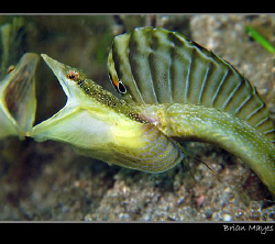 Bluethroat Pikeblenny can't recognise a friendly face whe... by Brian Mayes
