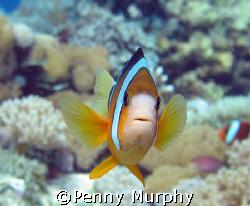 Clownfish, Nusa Lembongan by Penny Murphy