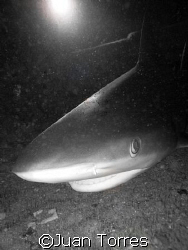 Caribbean Reef Shark inside the WIT Shoal by Juan Torres