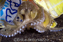 Stay away from my bag!  This octopus just kept playing w... by Erika Antoniazzo