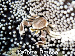 Porcelain Crab wandering in an Anemone by Abbe Bglcsa
