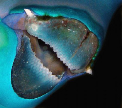 Steephead Parrotfish beak by Martin Dalsaso