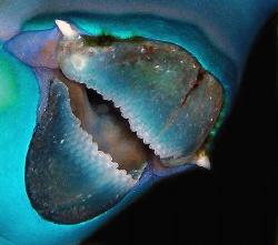 Steephead Parrotfish beak by Martin Dalsaso