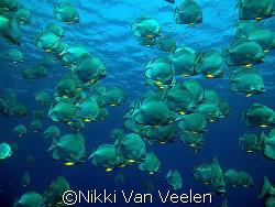 Batfish at Shark reef taken with e300. by Nikki Van Veelen