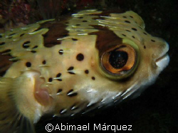 Balloomfish, North Pacific, Costa Rica by Abimael Márquez
