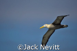 Albatross in flight by Jack Nevitt