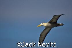 Albatross in flight by Jack Nevitt