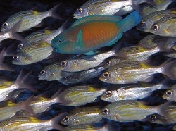 Schooling squirrelfish with a parrotfish by Martin Dalsaso