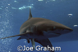 Longimanus taken under the Boat at Elphinestone, Red Sea,... by Joe Graham