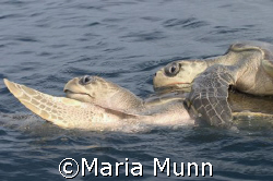 Olive Ridley Turtles hugging in Drake Bay, Costa Rica by Maria Munn