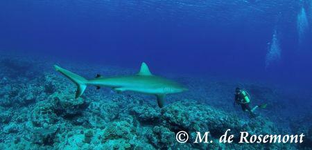 Grey reef shark encounter.  Sea&sea Housing, Nikon D50, ... by Moeava De Rosemont