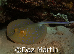 A spotted ray at Marsa Shagra Red Sea Nov 2007. by Daz Martin