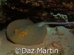A spotted ray at Marsa Shagra Red Sea Nov 2007. by Daz Martin