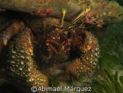 Hermitage Crab, Crash Boat, Aguadilla, Puerto Rico. I wa... by Abimael Márquez