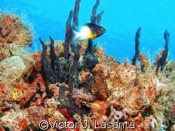 bicolor damselfish in crash boat dive site at AGUADILLA ... by Victor J. Lasanta